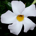 White Mandevilla by Robert Morin