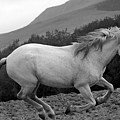 White Mare Gallops #1 -  Close Up Black And White by Heather Kirk