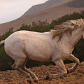 White Mare Gallops #1 -  Close Up Brighter by Heather Kirk