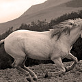 White Mare Gallops #1 -  Close Up Sepia by Heather Kirk