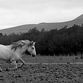 White Mare Gallops #1 - Panoramic Black And White by Heather Kirk