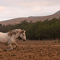 White Mare Gallops #1 - Panoramic Brighter by Heather Kirk