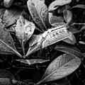 White Marked Tussock Moth Caterpillar by Chris Flees