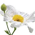White Matilija Poppy On White by Gill Billington