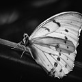 White Morpho Black And White by Robin Zygelman