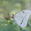 White Morpho Butterfly by Kim Hojnacki