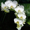 White Moth Orchid Array by Byron Varvarigos