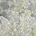 White Mums by Linda Benoit