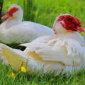 White Muscovy Ducks by Elizabeth Winter