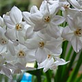 White Narcissi Spring Flower 2 by Joan-Violet Stretch