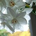 White Narcissi Spring Flower by Joan-Violet Stretch