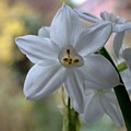 White Narcissi Spring Flowers 3 by Joan-Violet Stretch