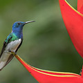 White-necked Jacobin by Mike Timmons