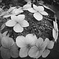 White On Black Hydrangea Petals by Tammy Hankins