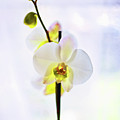 White Orchid by Alex Art and Photo