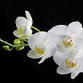 White Orchid by Clare Bambers