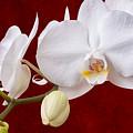 White Orchid Closeup by Tom Mc Nemar