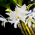 White Orchid by J Darrell Hutto