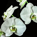 White Orchid by Don McDaniel