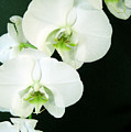 White Orchid Elegance by Cheryl Ehlers