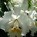 White Orchid by James Johnstone