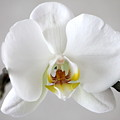 White Moth Orchid by Jill Black