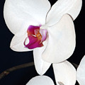 White Orchid by Margaret Fortunato