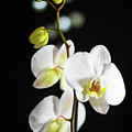 White Orchid On Black Bw by Alex Art and Photo
