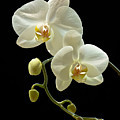 White Orchid On Black Background by Warren Sarle