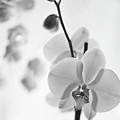 White Orchid On White Bw by Alex Art and Photo