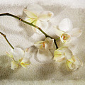 White Orchid by Randi Grace Nilsberg
