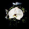 White Orchid by Sean O'Cairde