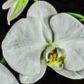 White Orchid On Black by Don McDaniel