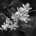 White Orchid Spray by Kim Hojnacki