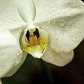 White Orchid by Steven Jones
