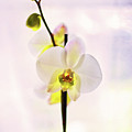 White Orchid V2 by Alex Art and Photo