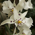 White Orchids 2 by Michael Peychich