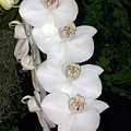 White Orchids California by Marlene Puza
