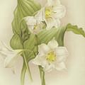 White Orchids   Eucharis Sanderiana by English School