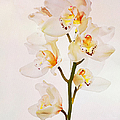 White Orchids Faux Watercolor by Endre Balogh
