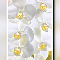 White Orchids Framed by Jan Brons