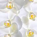 White Orchids by Jan Brons