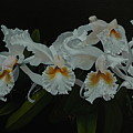 White Orchids by Michael Nowak