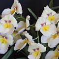 White Orchids by Stephen Schwiesow