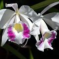 White Orchids by Susanne Van Hulst