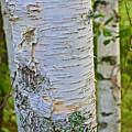 White Paper Birch Bark Along Bike Trail Near Walker-minnesota by Ruth Hager