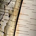 White Paper Birch Tree Bark by Alan Look