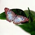White Peacock Butterfly 2 by Randy Matthews