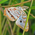White Peacock Butterfly by Kenneth Albin