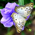 White Peacock Butterfly On Purple 2 by Lisa Renee Ludlum